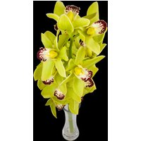 A Single Classic GREEN Cymbidium Orchid