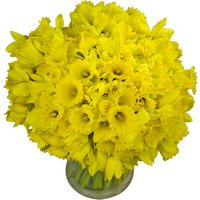 100 Long-Stemmed Dutch Greenhouse Grown Daffodils