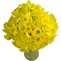 60 Long-Stemmed Dutch Greenhouse Grown Daffodils