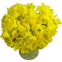 70 Long-Stemmed Dutch Greenhouse Grown Daffodils