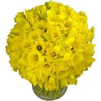 80 Long-Stemmed Dutch Greenhouse Grown Daffodils