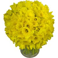 90 Long-Stemmed Dutch Greenhouse Grown Daffodils