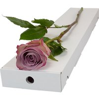 Letterbox Single Lilac Rose