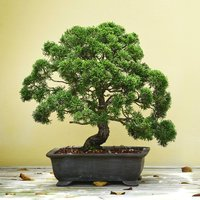 Grow Your Own Bonsai Tree - Gadgets Gifts