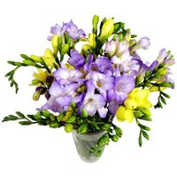 15 Assorted Freesia