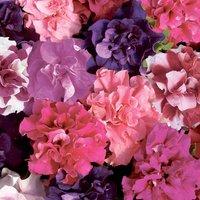 Gardening Direct 70 Petunia Bolero (Double Flowering) Ready