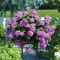 Gardening Direct 12 Geranium Lilac Trailing jumbo Plants