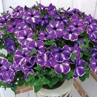 Gardening Direct 12 Petunia Ink Splash Jumbo Plants