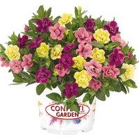 Gardening Direct 24 Petunia Hawaiian My Sweetheart Jumbo Pla
