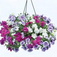 Gardening Direct 12 Petunia Tumbelina (Scented) Jumbo Plants