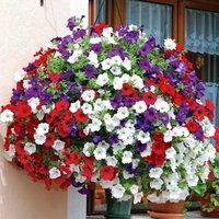 Gardening Direct 24 Petunia Surfinia Classic (Trailing) Jumb