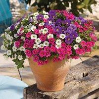 Gardening Direct 12 Petunia Trillion Bells Celebration Mix