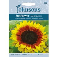 Pack of Solar Power F1 Sunflower Seeds