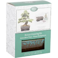 Stone Pine Bonsai Growing Kit