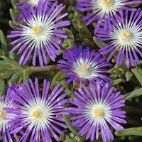 Delosperma floribunda
