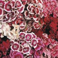 'Dianthus Barbatus 'indian Carpet Mixed'