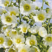 'Hollyhock 'halo White'