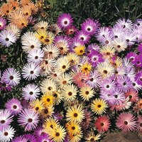 Mesembryanthemum criniflorum