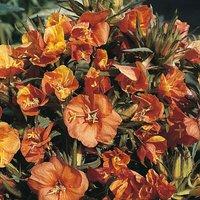 Oenothera versicolor
