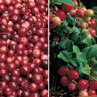 Cranberry & Lingonberry Collection