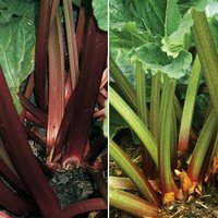 Rhubarb RHS Collection (Spring/Autumn Planting)