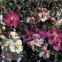 Verbascum phoeniceum (Hybrids)