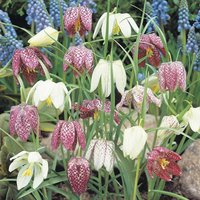 Fritillaria meleagris (Mixed)