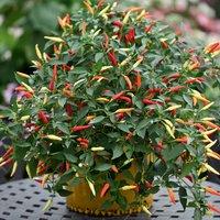 Chilli Pepper Basket of Fire F1
