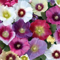 'Hollyhock 'halo Mixed'
