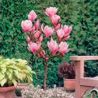 Magnolia Pink Standard