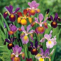 Iris Metallic Mix