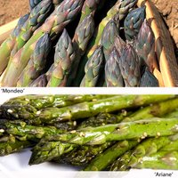 Asparagus Duo (Spring/Autumn Planting)