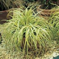 Carex oshimensis