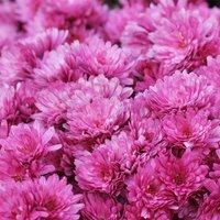 Chrysanthemum x hortorum