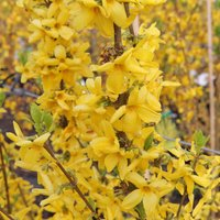 Forsythia x intermedia Goldrausch