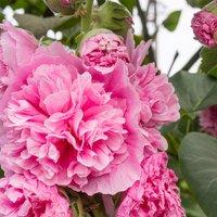 Hollyhock rosea