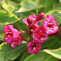 Weigela florida Moulin Rouge