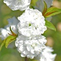 Prunus glandulosa Alba Plena