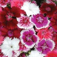 Dianthus Festival Mixed (Garden Ready)