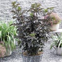 Sambucus nigra f. porphyrophylla