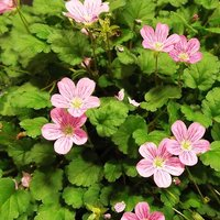 Erodium ?� variabile