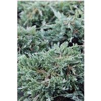 Juniperus horizontalis