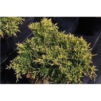 Juniperus x pfitzeriana