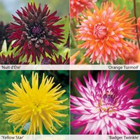 Dahlia Cactus Collection 4 or 8 Plants