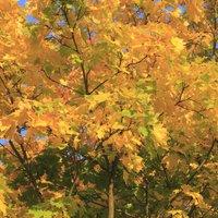 Field maple (Hedging)