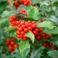 Holly (Hedging)