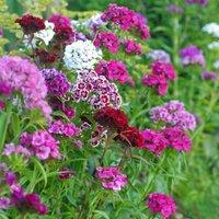 Dianthus barbatus Excelsior Mixed