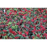 Skimmia japonica subsp. reevesiana