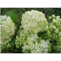 Viburnum plicatum f. plicatum Popcorn