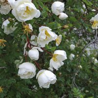 Burnet rose (Hedging)